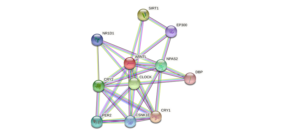 Protein-Protein network diagram for ARNTL