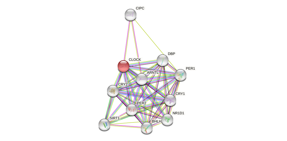 Protein-Protein network diagram for CLOCK