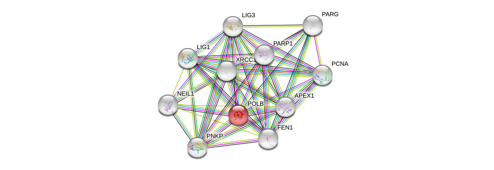 Protein-Protein network diagram for POLB