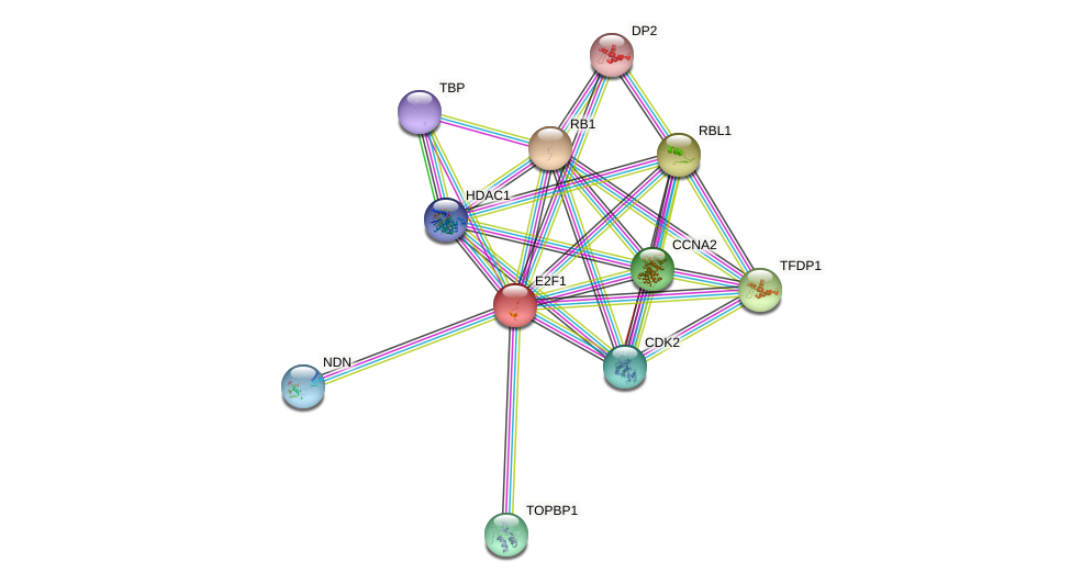 Protein-Protein network diagram for E2F1