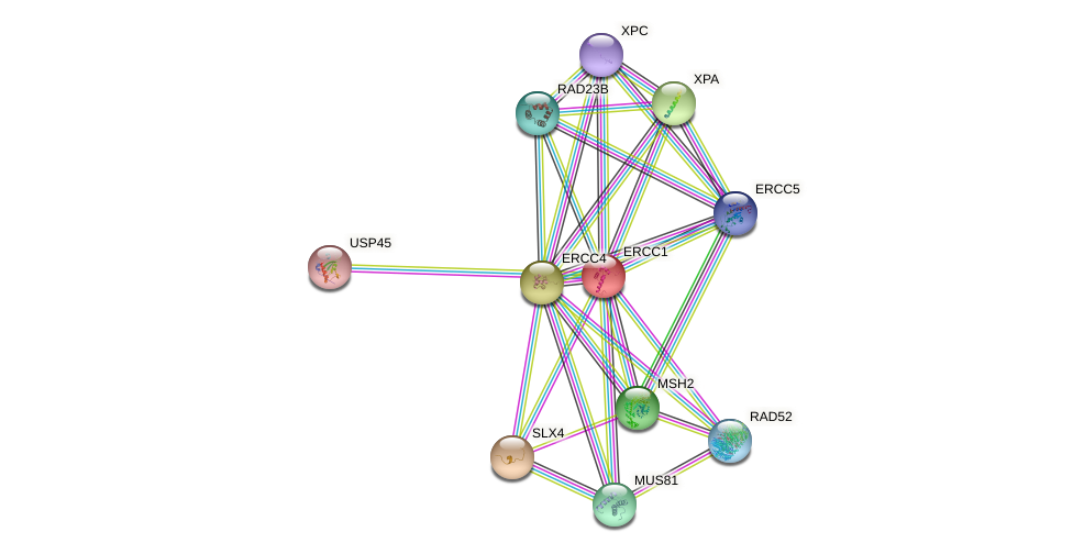 Protein-Protein network diagram for ERCC1
