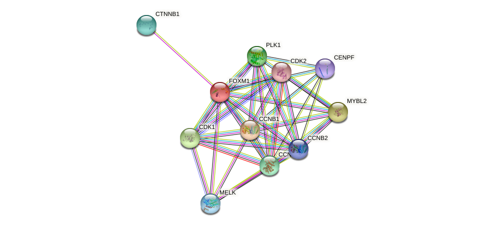 Protein-Protein network diagram for FOXM1