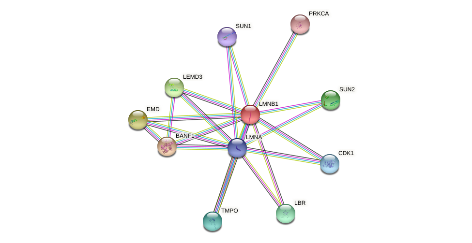 Protein-Protein network diagram for LMNB1