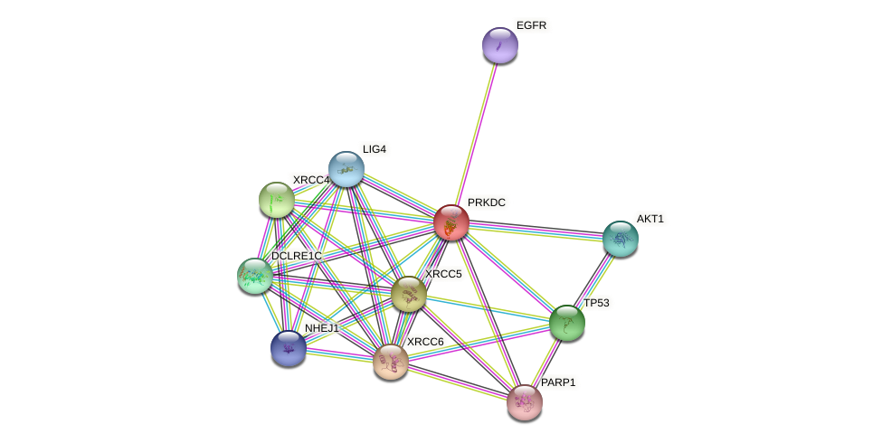Protein-Protein network diagram for PRKDC