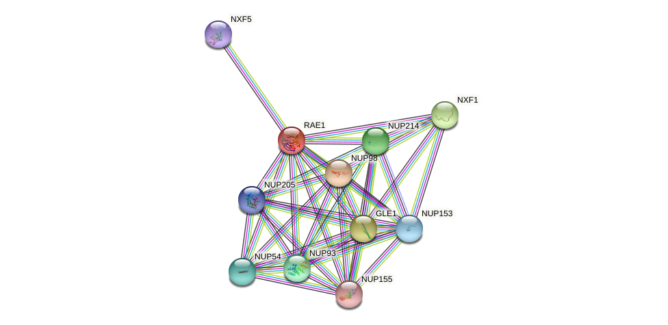 Protein-Protein network diagram for RAE1