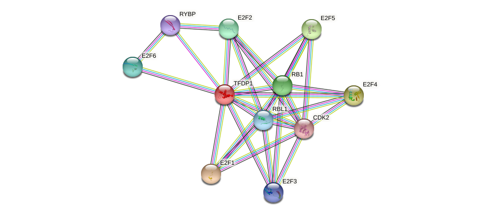 Protein-Protein network diagram for TFDP1