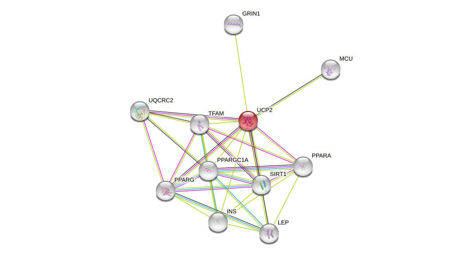 Protein-Protein network diagram for UCP2