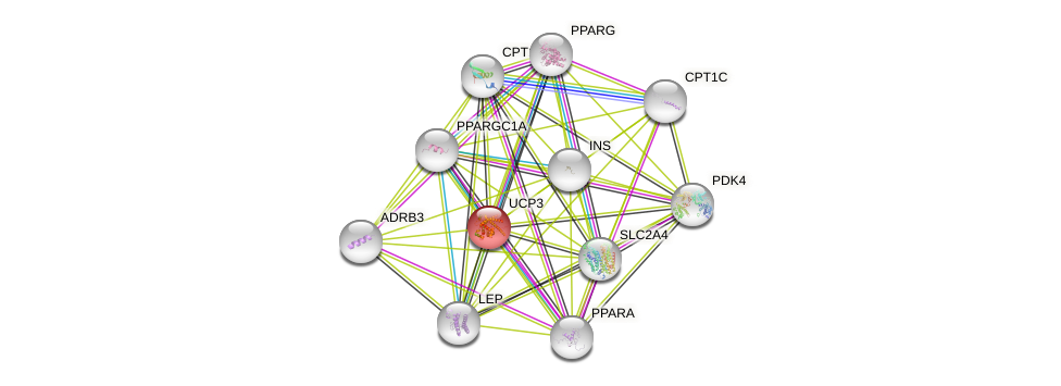 Protein-Protein network diagram for UCP3