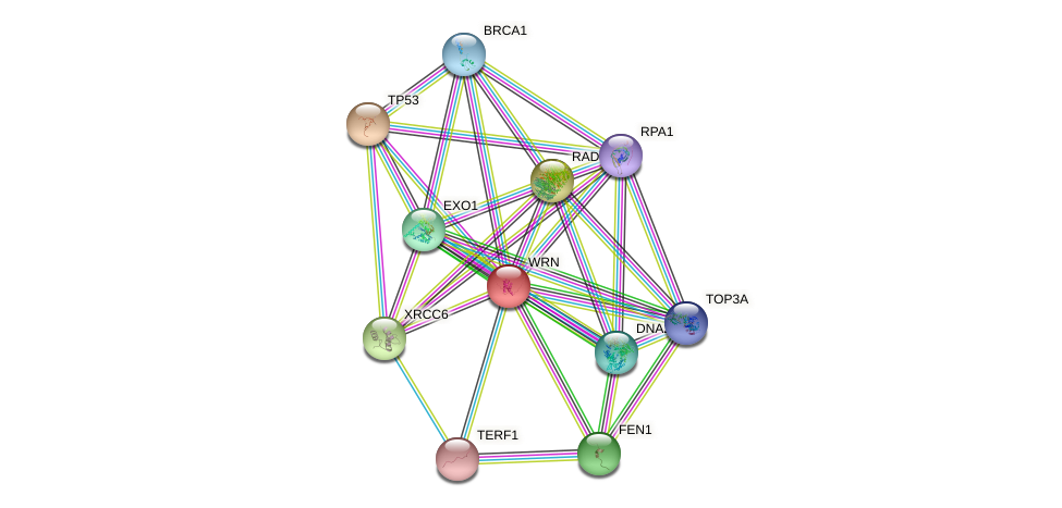 Protein-Protein network diagram for WRN