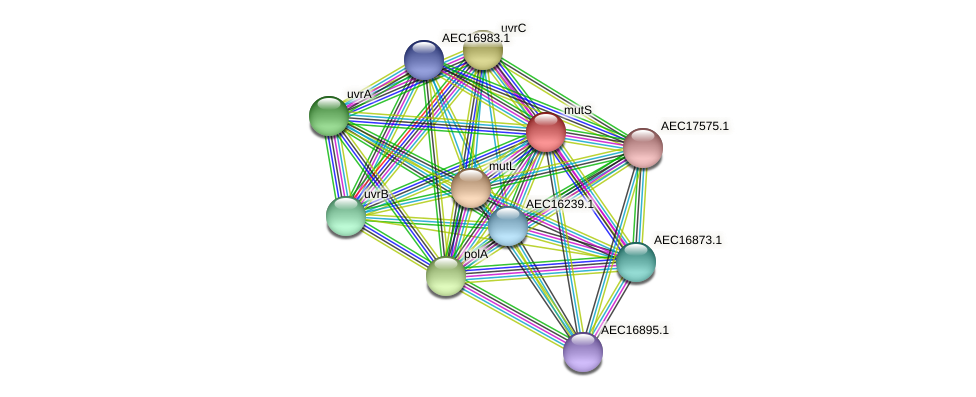 mutS protein (Gallibacterium anatis) - STRING interaction network