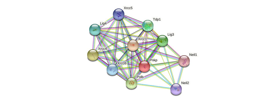 Pnkp protein (mouse) - STRING interaction network
