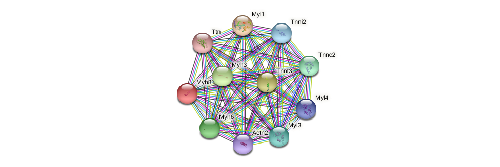 Myh8 protein (mouse) - STRING interaction network