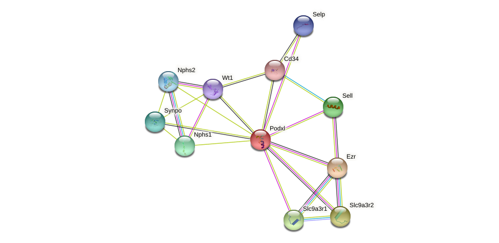 Podxl protein (mouse) - STRING interaction network