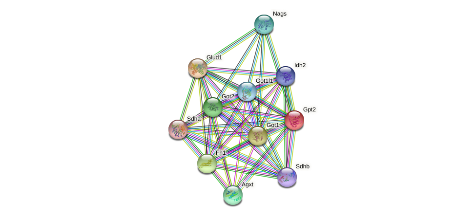 Gpt2 protein (mouse) - STRING interaction network