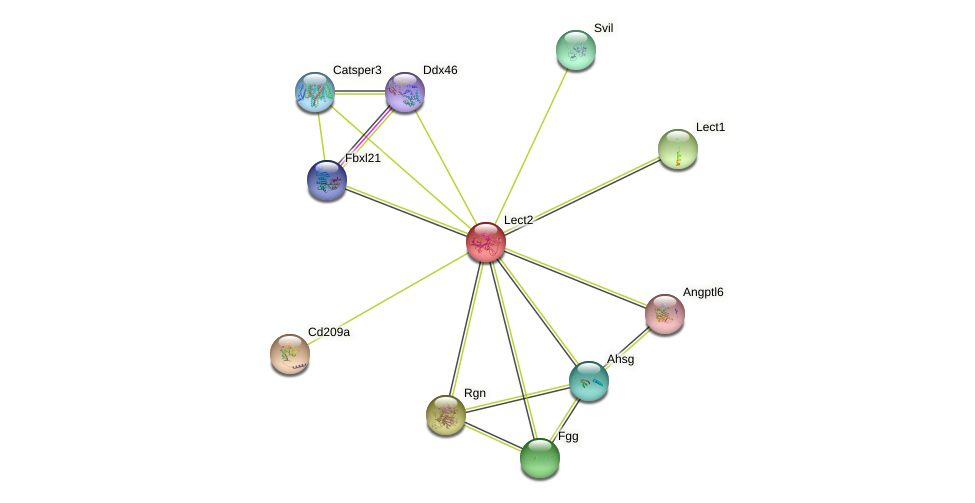 Lect2 protein (mouse) - STRING interaction network