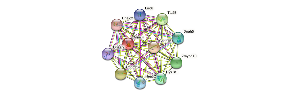 Armc4 protein (mouse) - STRING interaction network