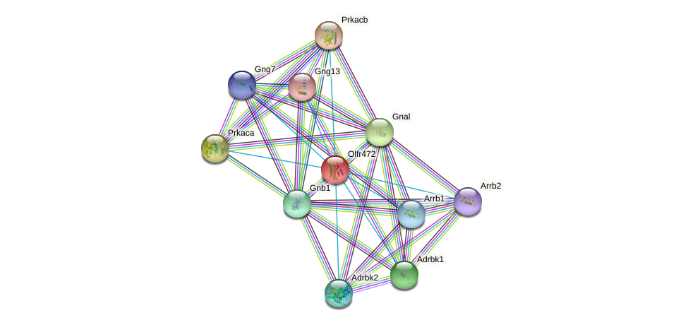 Olfr472 protein (mouse) - STRING interaction network