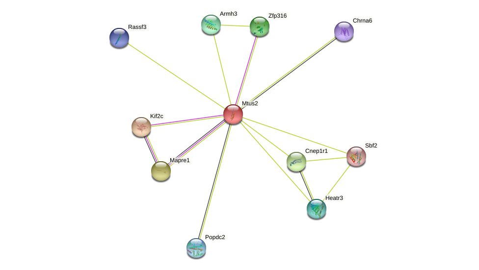 Mtus2 protein (mouse) - STRING interaction network