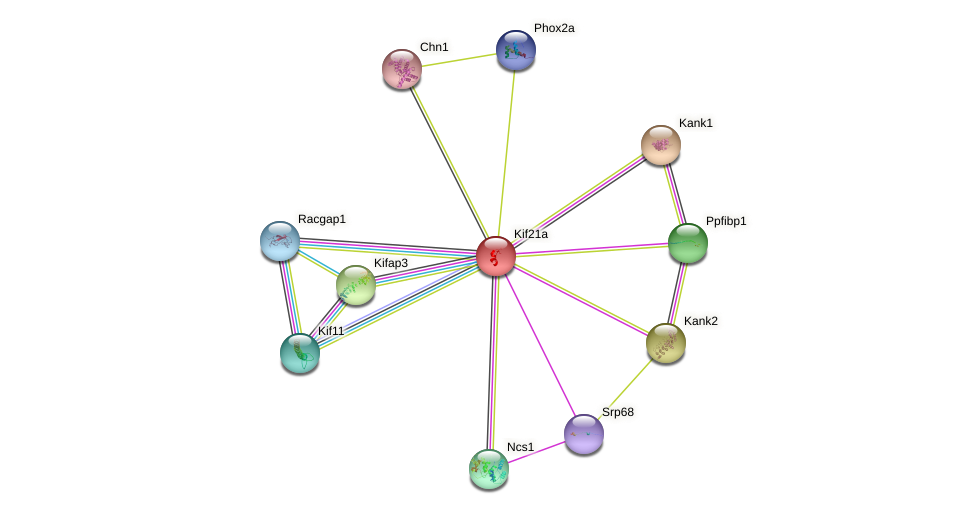 Kif21a protein (mouse) - STRING interaction network