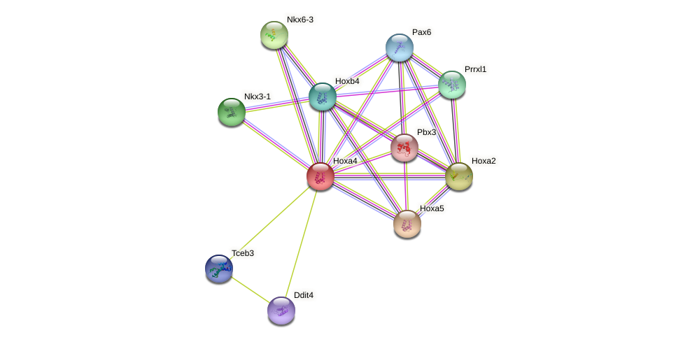 Hoxa4 protein (mouse) - STRING interaction network