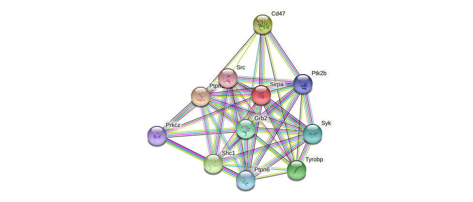 Sirpa protein (mouse) - STRING interaction network