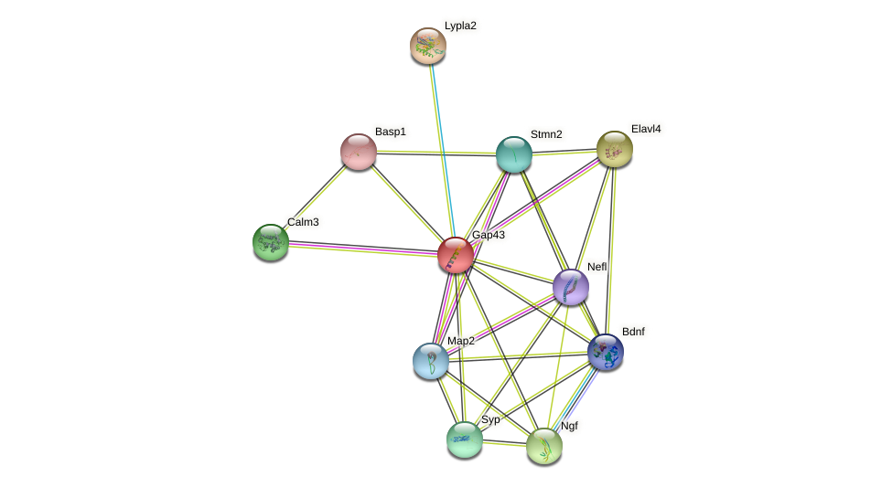 Gap43 protein (mouse) - STRING interaction network