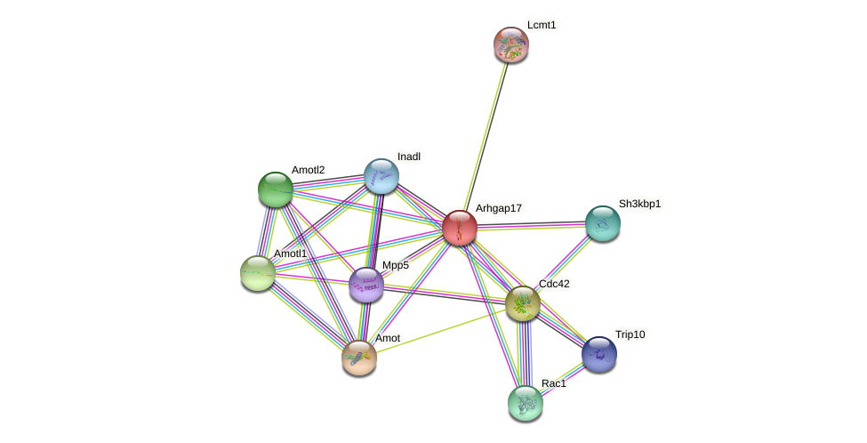 Arhgap17 protein (mouse) - STRING interaction network