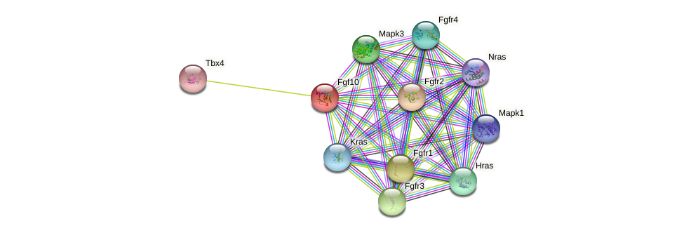 Fgf10 protein (Rattus norvegicus) - STRING interaction network
