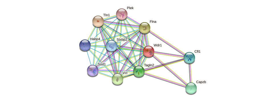 Wdr1 protein (Rattus norvegicus) - STRING interaction network