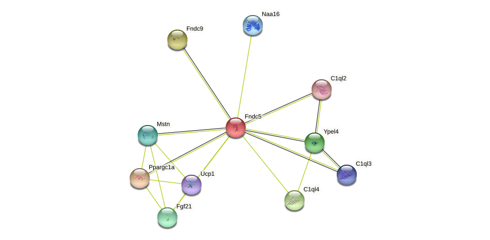Fndc5 protein (Rattus norvegicus) - STRING interaction network