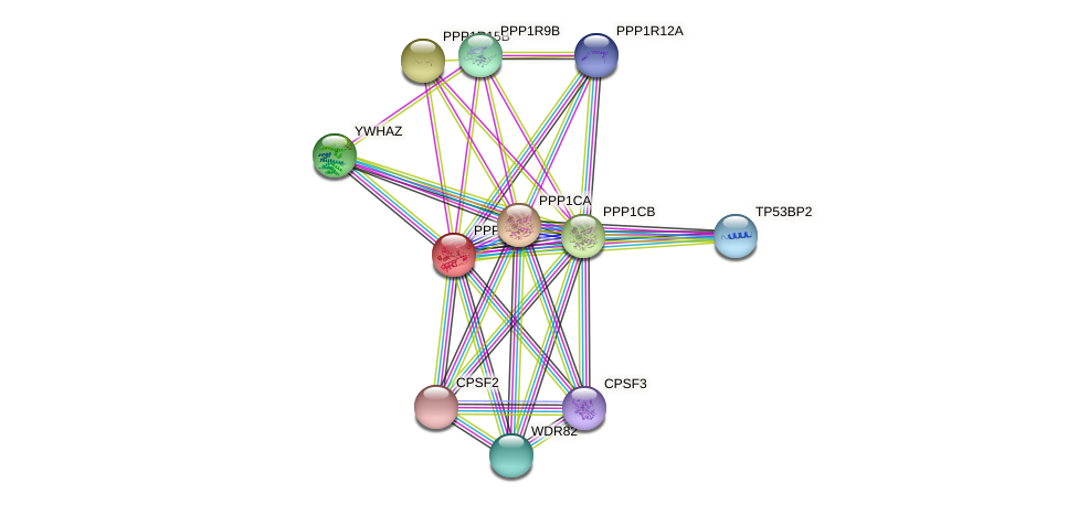 PPP1CC protein (Cavia porcellus) - STRING interaction network