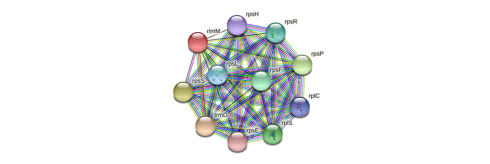 rimM protein (Staphylococcus xylosus) - STRING interaction network