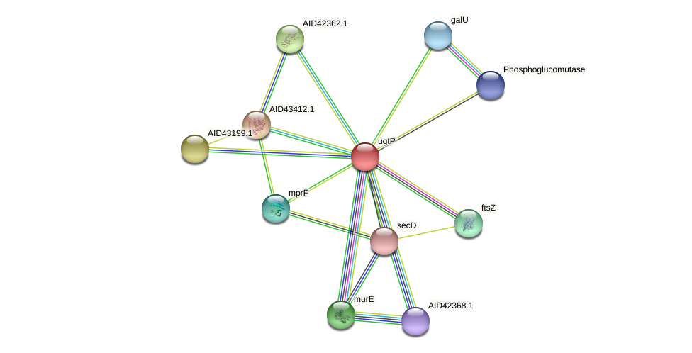 ugtP protein (Staphylococcus xylosus) - STRING interaction network