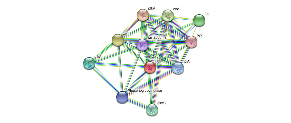 pgi protein (Staphylococcus xylosus) - STRING interaction network