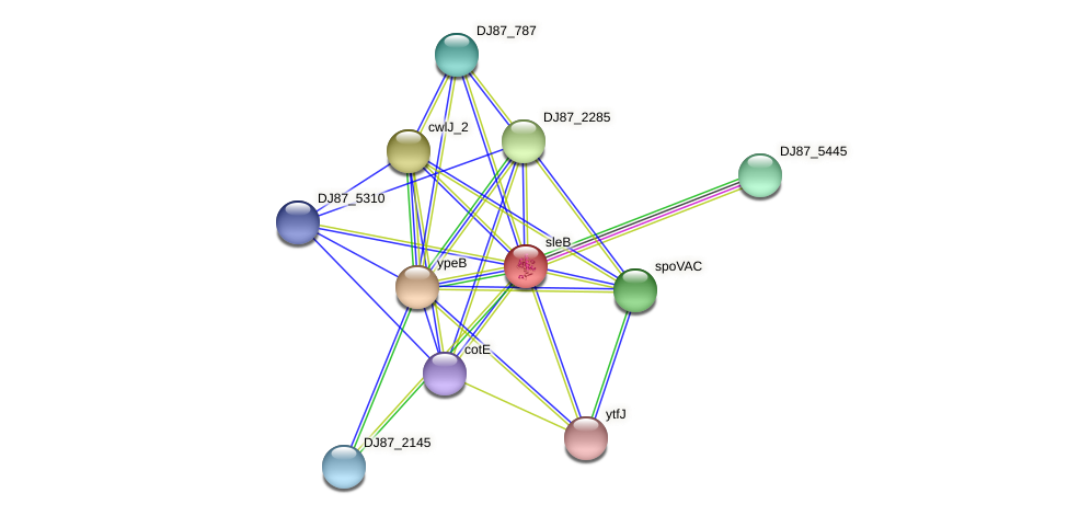 sleB protein (Bacillus cereus) - STRING interaction network