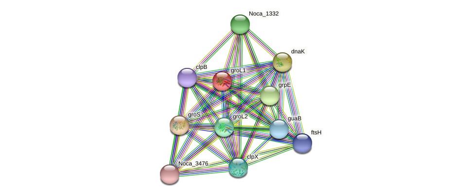 groL1 protein (Nocardioides sp. JS614) - STRING interaction network