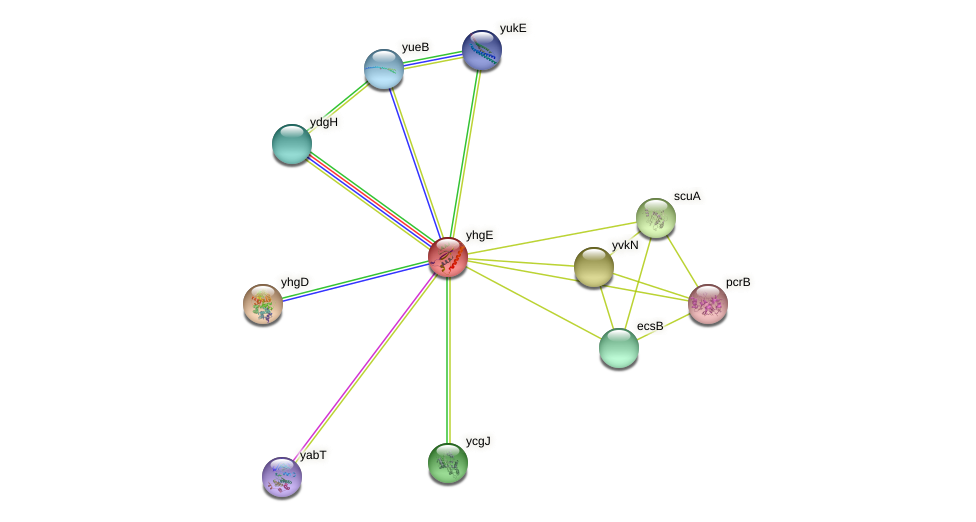 yhgE protein (Bacillus subtilis) - STRING interaction network
