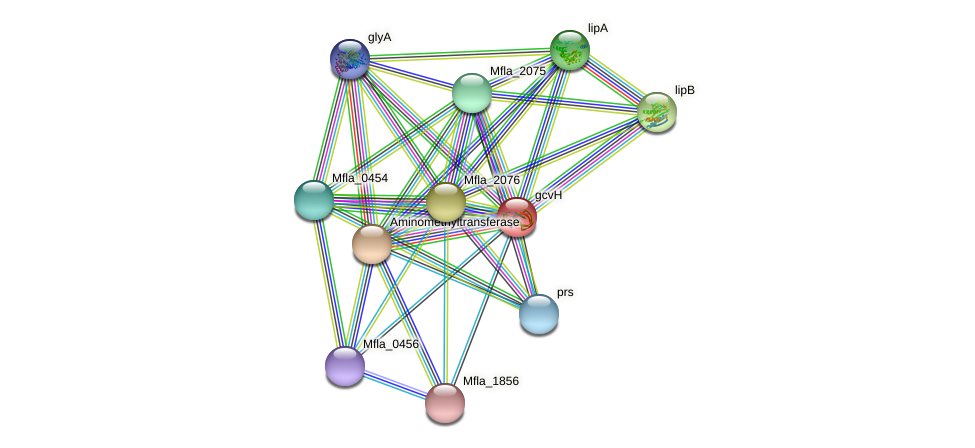 gcvH protein (Methylobacillus flagellatus) - STRING interaction network