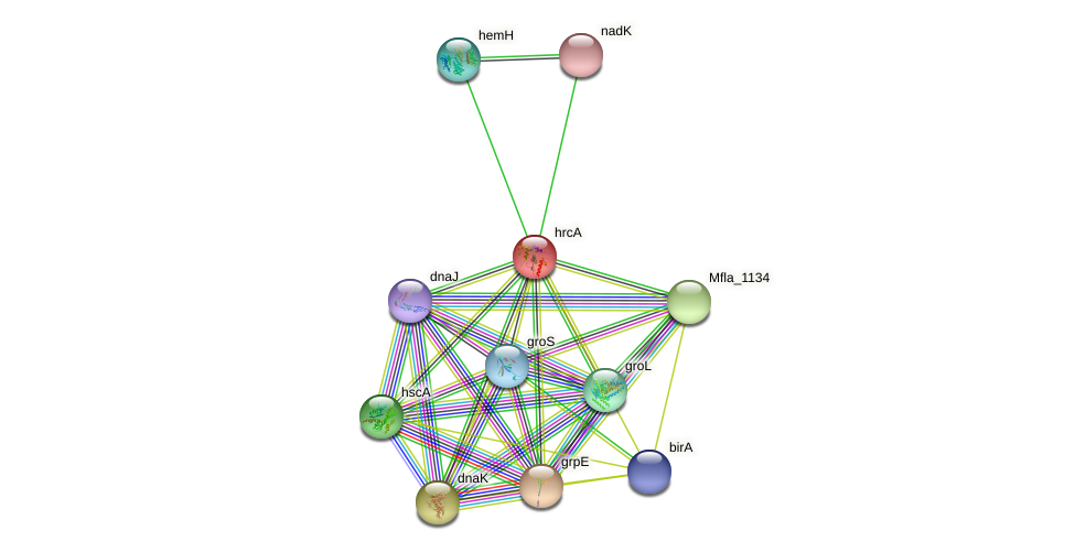 hrcA protein (Methylobacillus flagellatus) - STRING interaction network