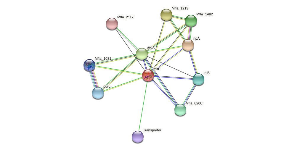 mltF protein (Methylobacillus flagellatus) - STRING interaction network