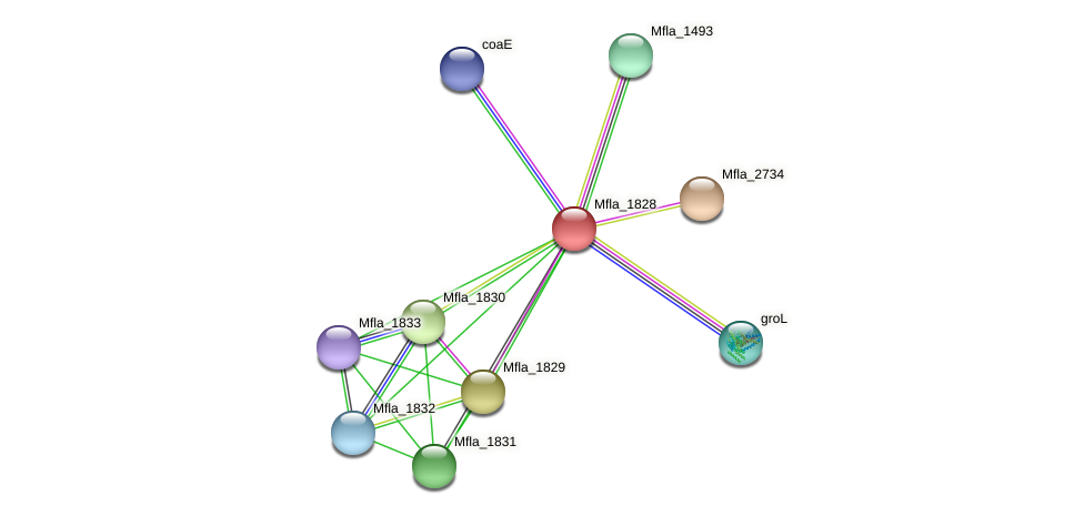 Mfla_1828 protein (Methylobacillus flagellatus) - STRING interaction network