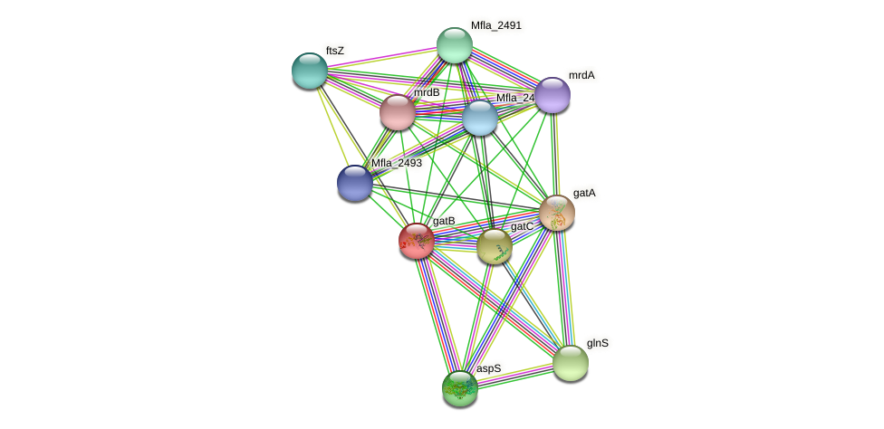 gatB protein (Methylobacillus flagellatus) - STRING interaction network