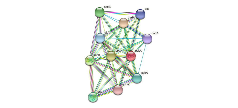 pckA protein (Idiomarina loihiensis) - STRING interaction network