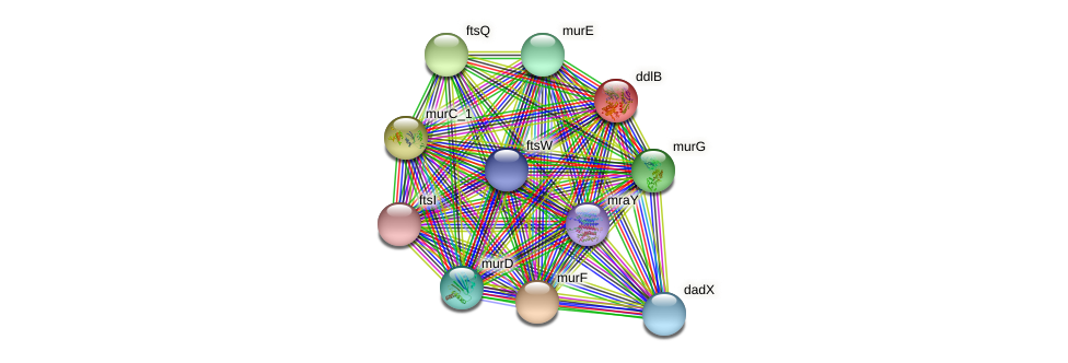 ddl protein (Idiomarina loihiensis) - STRING interaction network