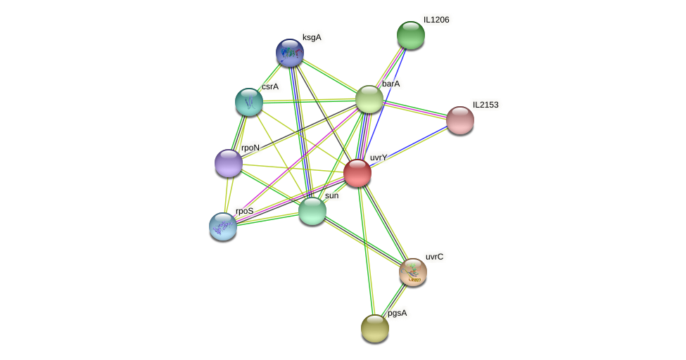 uvrY protein (Idiomarina loihiensis) - STRING interaction network