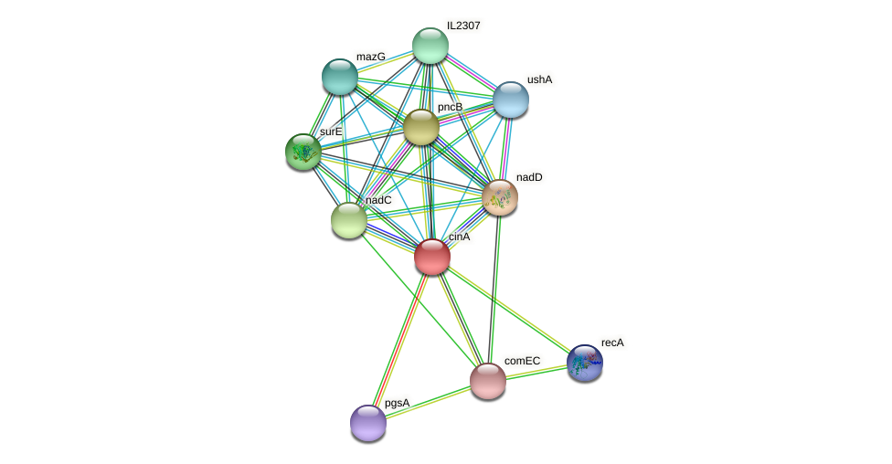 cinA protein (Idiomarina loihiensis) - STRING interaction network