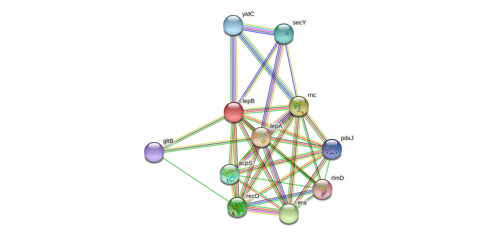 lepB protein (Idiomarina loihiensis) - STRING interaction network