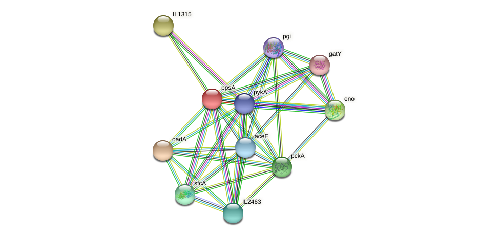 ppsA protein (Idiomarina loihiensis) - STRING interaction network