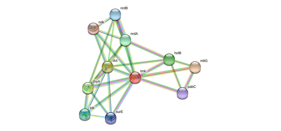 tmk protein (Idiomarina loihiensis) - STRING interaction network