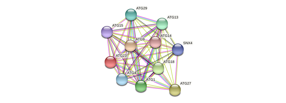 ATG23 protein (Candida glabrata) - STRING interaction network